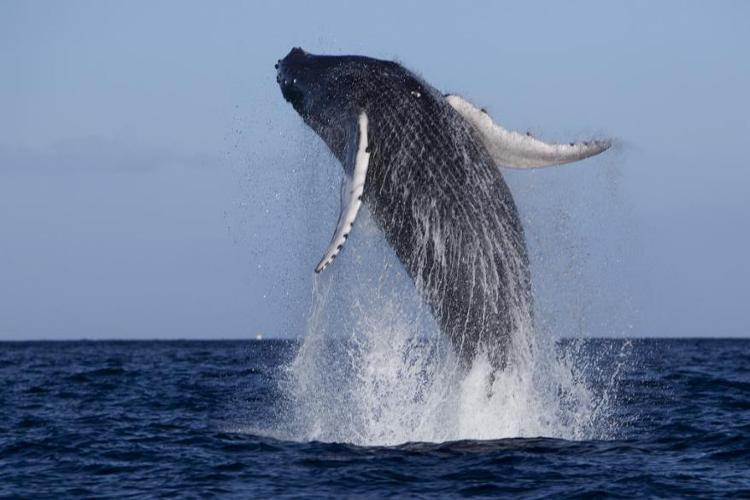 Humpback Whales, Hawaii