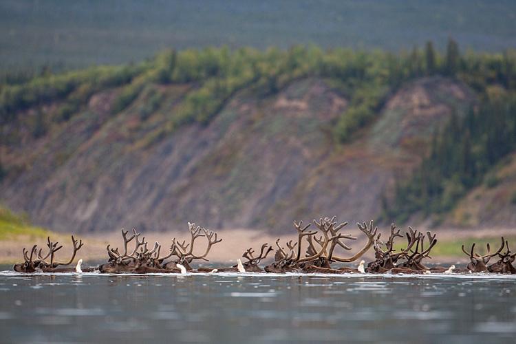 Porcupine Caribou Migration, Canada