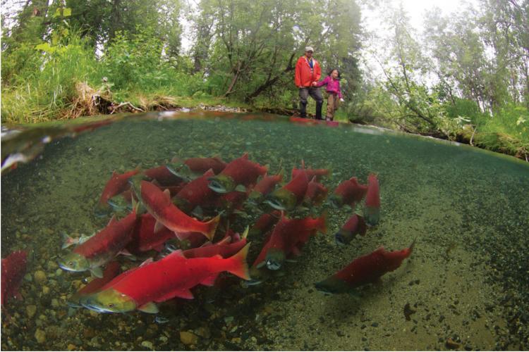Salmon Spawn, Southeast Alaska