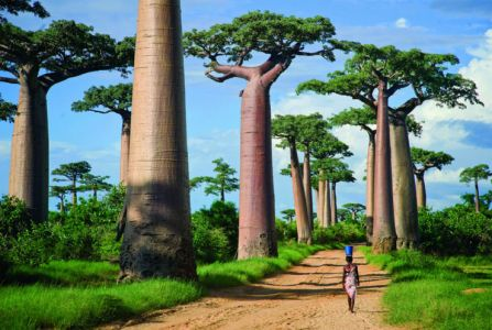 Avenue Of The Baobabs, Menabe, Madagascar