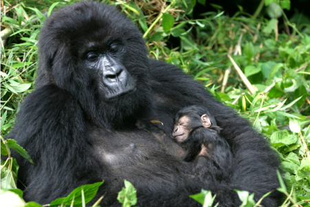 Mountain Gorillas, Uganda