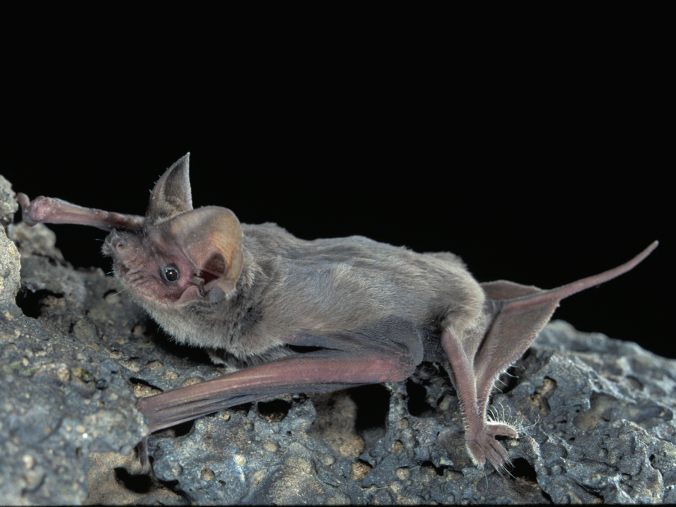 Mexican Free-Tailed Bats, New Mexico.