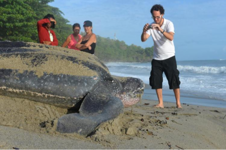 Leatherback Sea Turtles, Trinidad